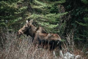 Canadian Moose in Jasper