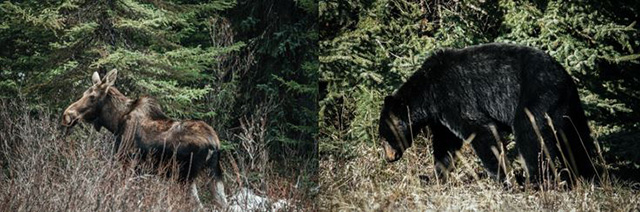 Canadian Moose and Bear
