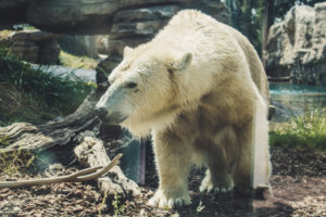 Polar Bear at San Diego Zoo