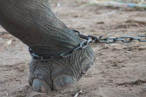 elephant shackle